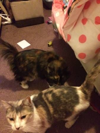 Bridgewater, NJ Free Calico cats 2 free female spayed