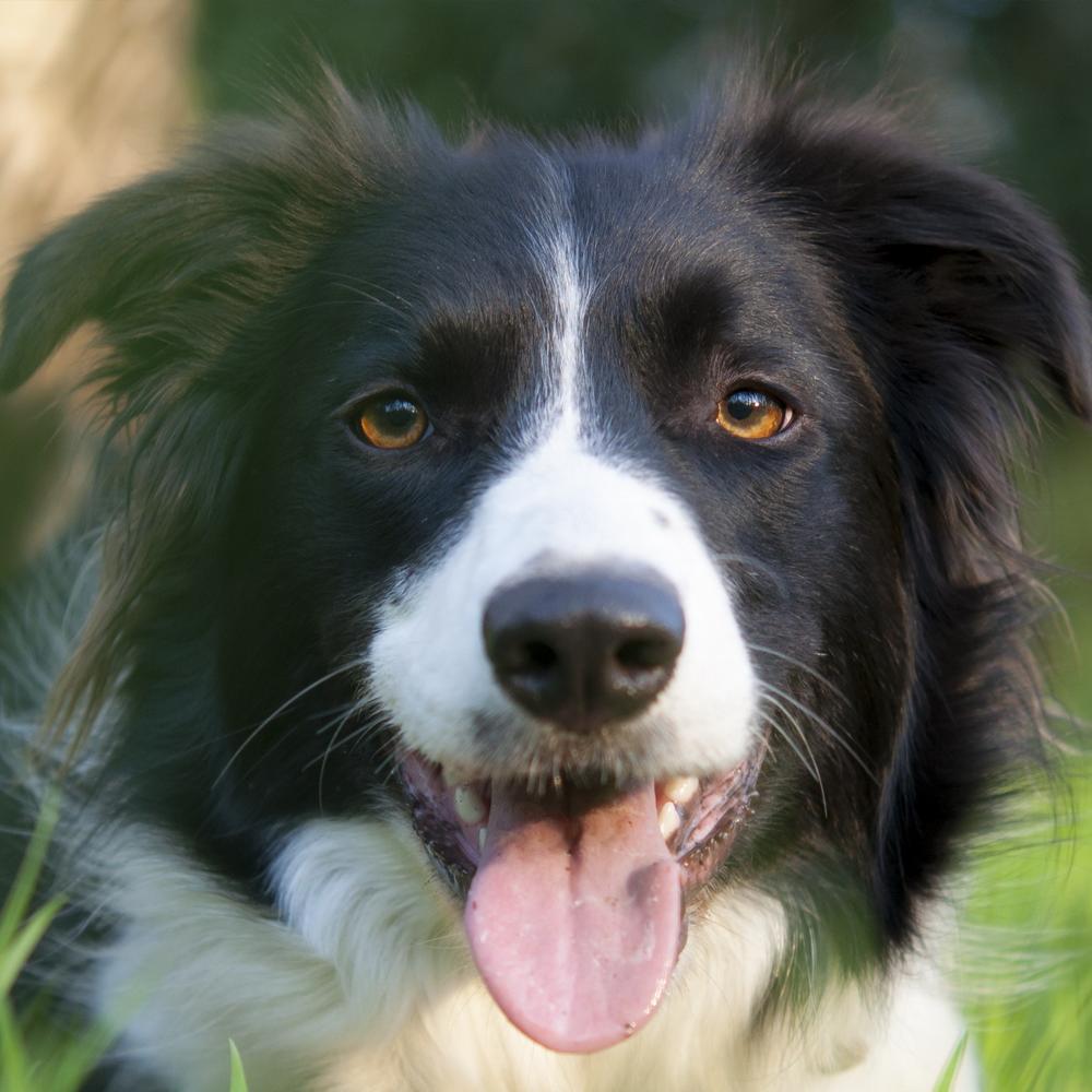Tudo Sobre A Raça Border Collie Material Do Cão Cães E