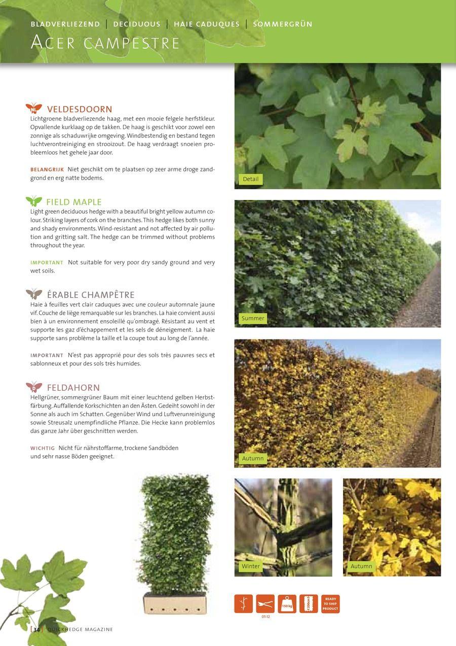 Instant hedge acer campestre Magazine