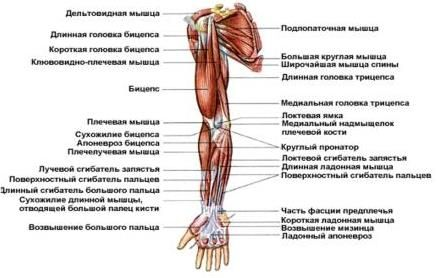 анатомия человека в картинках руки