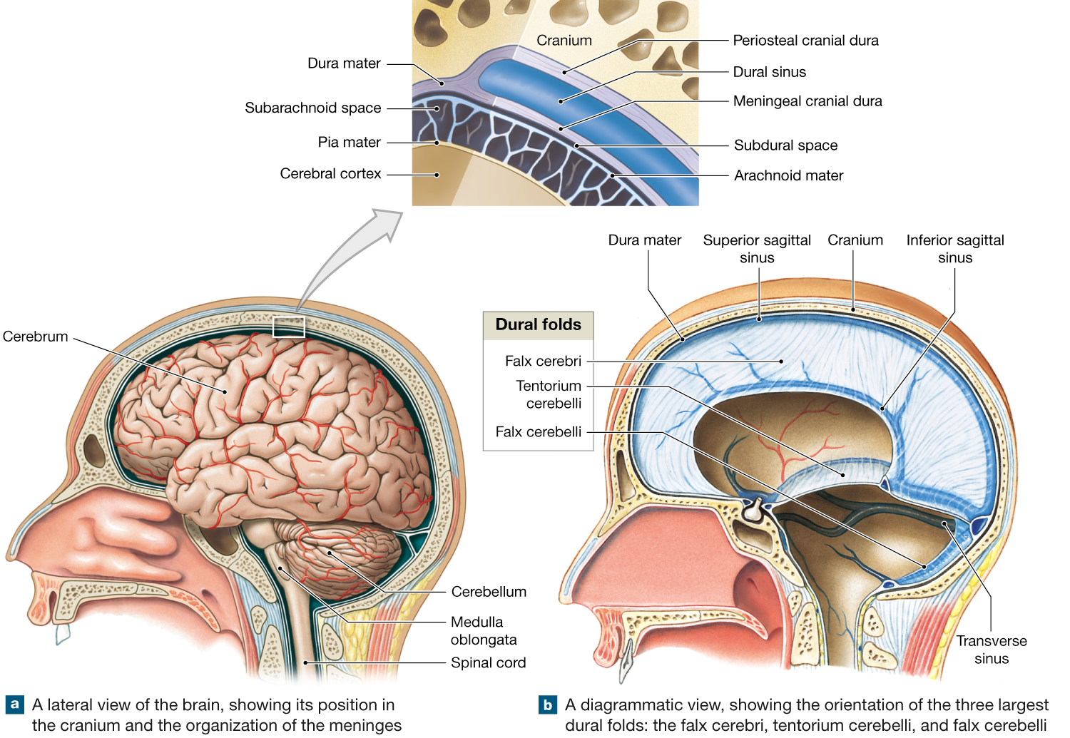 14.2: The brain is protected and supported by the cranial meninges ...