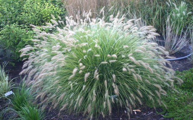 Ornamental Grasses Florida Little bunny dwarf fountain grass gardening and landscape ideas little bunny dwarf fountain grass poaceae pennisetum alopecuroides little bunny is a fast growing ornamental grass perennial workwithnaturefo