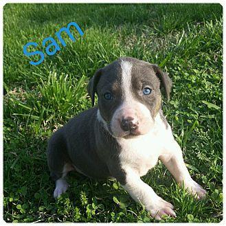 Glastonbury Ct American Bulldog Mix Meet Sam A Puppy For Adoption American Bulldog Mix Puppy Adoption American Bulldog