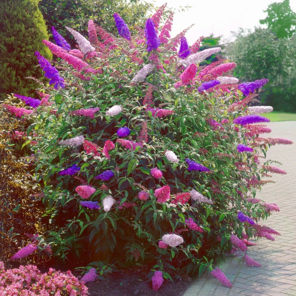Fabulous Schmetterlingsflieder 'Tricolor' | Butterfly bush IH74