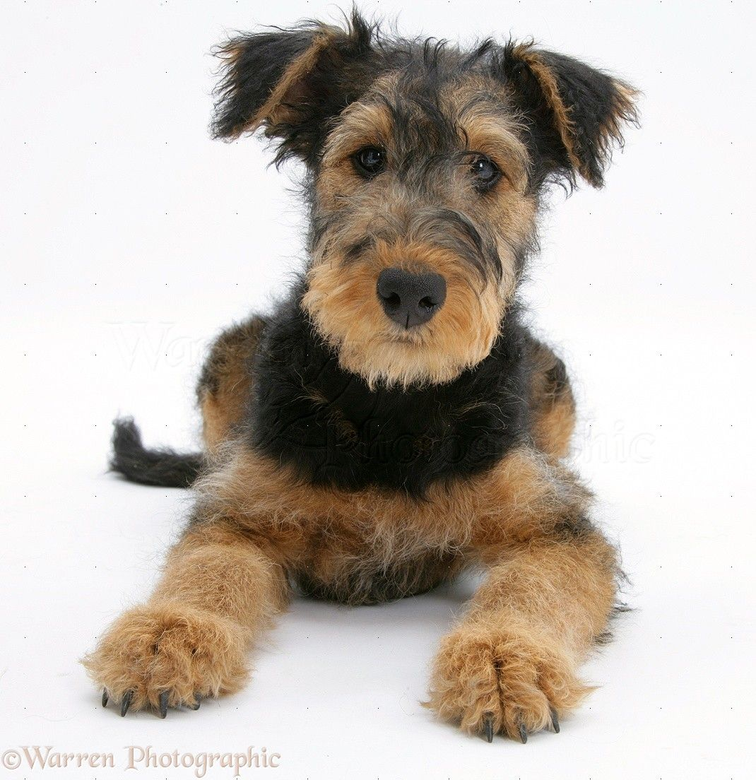 خلفيات كلب آريدال ترير Airedale Terrier Terrier American