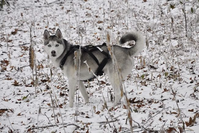 Siberian Husky Gray Husky Husky Breeds Siberian Husky