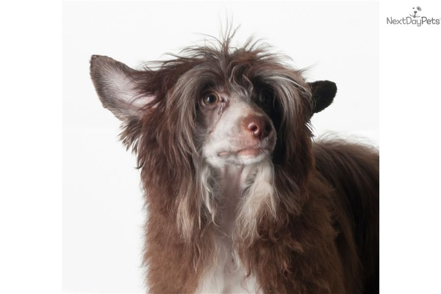 Chinese Crested Puppy For Sale Near Ukraine B25aa6cb 7891 Chinese Crested Puppy Puppies For Sale Animals