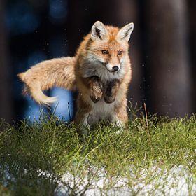 Red Fox by Jan Pelcman