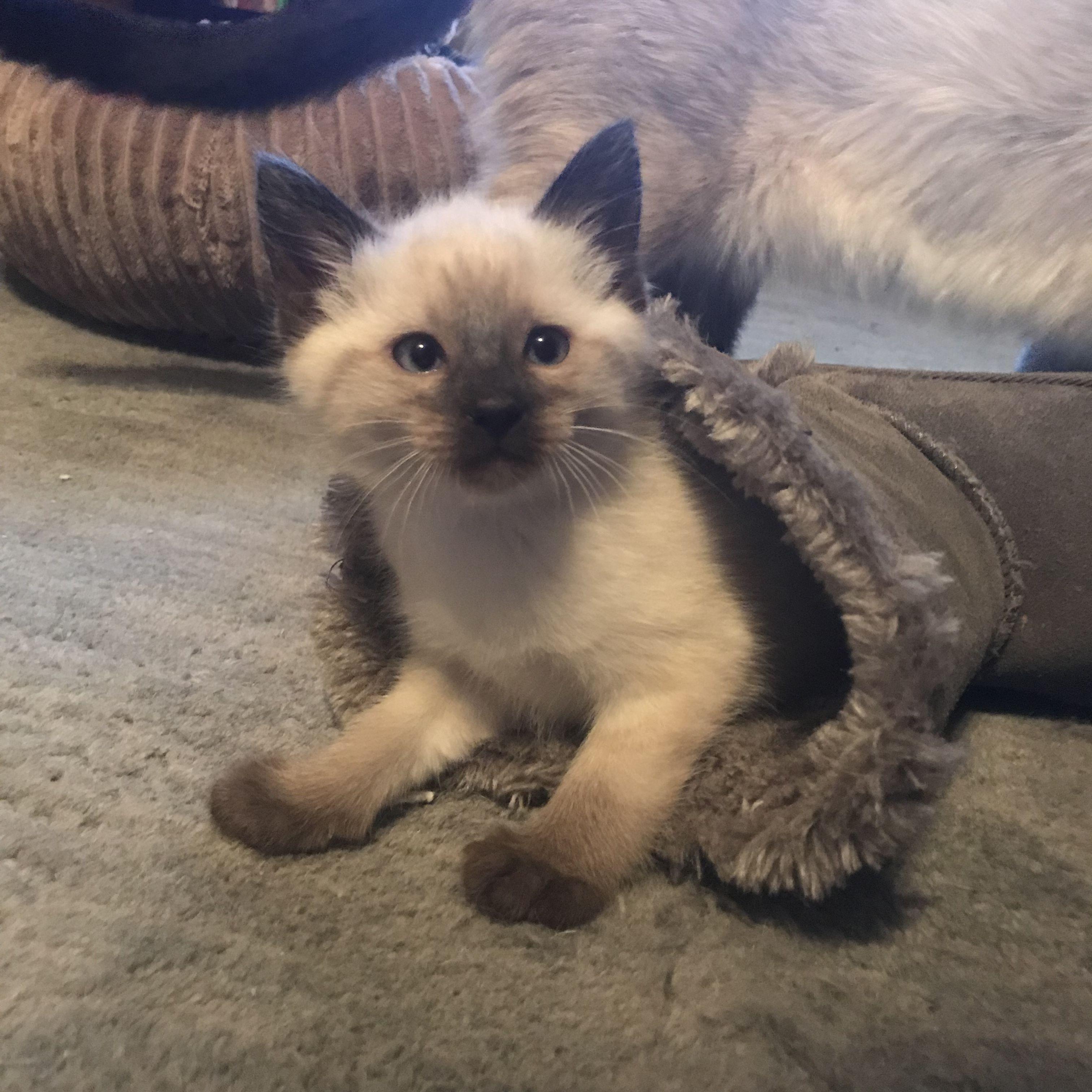 Siamese kittens Siamese kittens, Cat behavior, Kittens