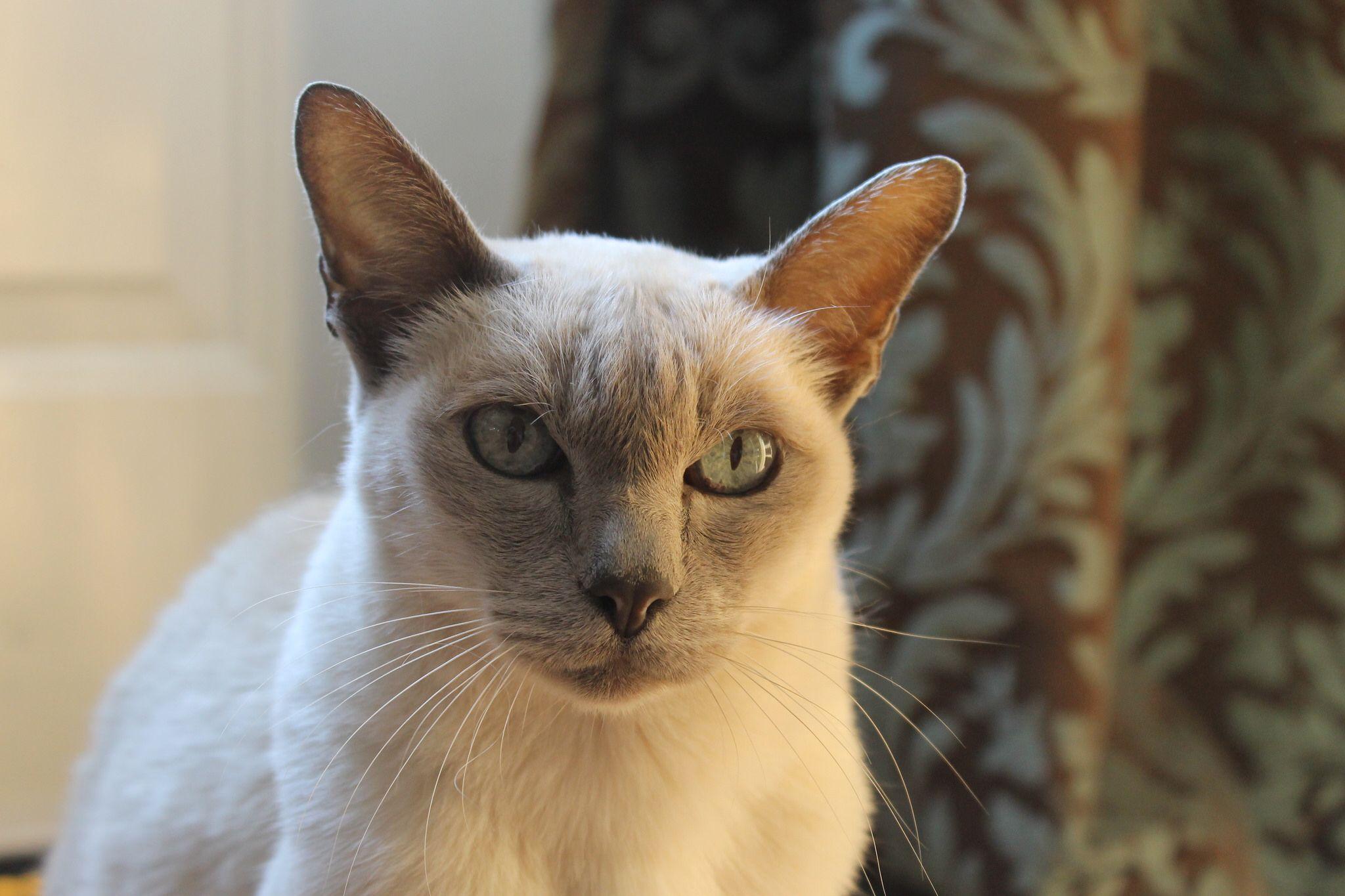 Lilac Mink Tonkinese Cat Tonkinese Cat Tonkinese Grey Kitten