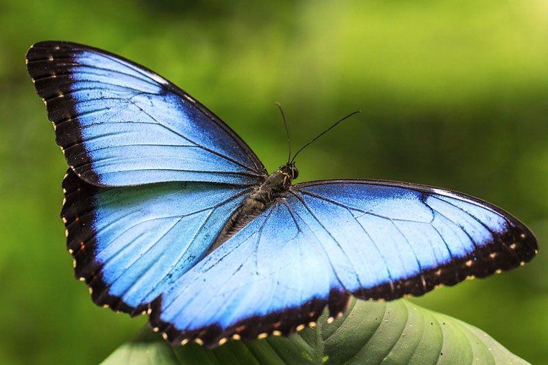 ヘレノールモルフォ(鱗翅目:タテハチョウ科:ジャノメチョウ亜科 ...
