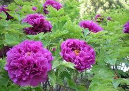 Afbeeldingsresultaat voor paarse pioenroos met witte roos