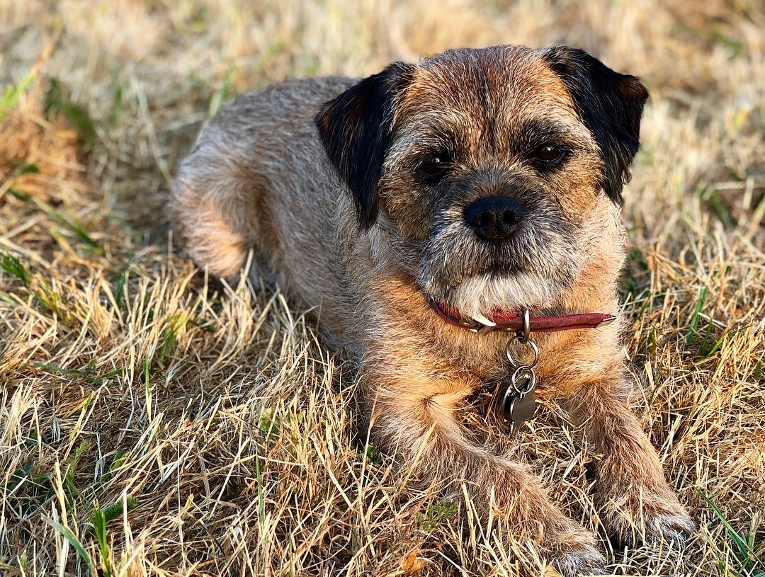 Border Terriers Coat Of Many Colours Border Terrier Terrier