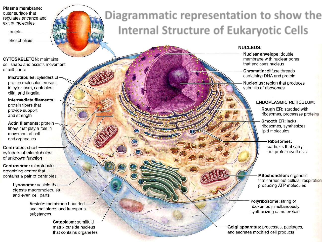 Eukaryotic cell structure | School | Pinterest | Cell structure ...