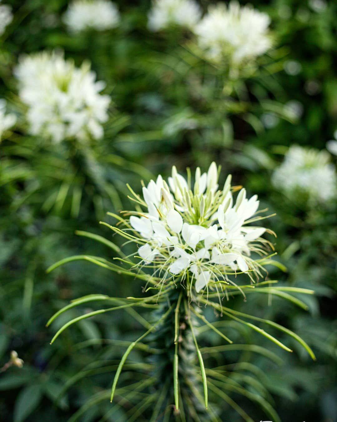 White flower. Kassel, Karlsaue.  Photographer: @salogwyn_fine_Art  #nature #naturelovers #casselfornia #kassel #kasselfornia #wonderful_places #wonderfullife #beautifulnature #beautifullight #motherearth #worldbestshot #seascape #photography #divine_worldplaces #challenge #photooftheday #photoshoot #colorful #gurushotschallenge #gurushots #shotaward #ig_mood #autumn #autumnvibes🍁 #amazing_shots #flowers #flowerstagram #flowerpower #whiteflower