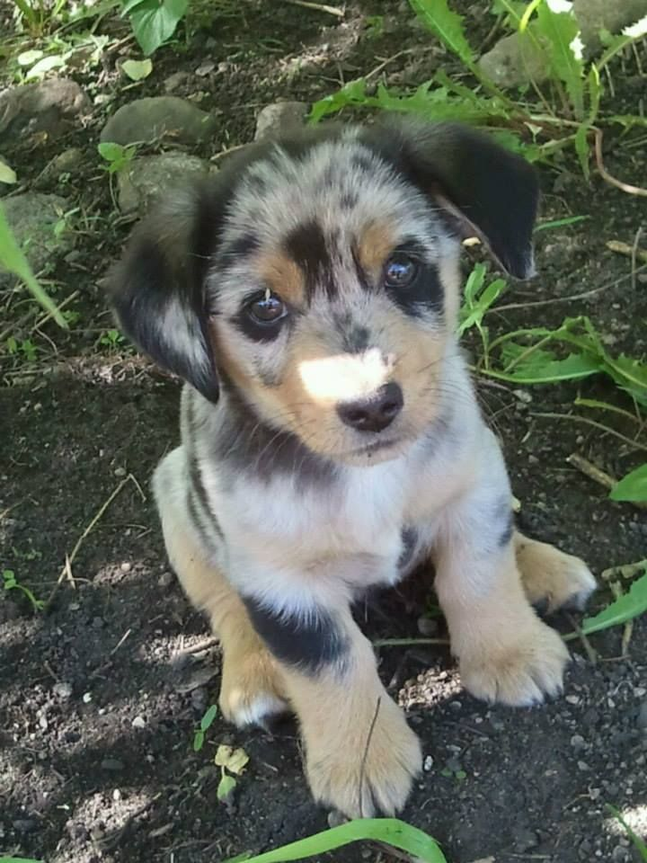 Male Auggie 3 Mini Australian Shepherd X Corgi Cute Animals