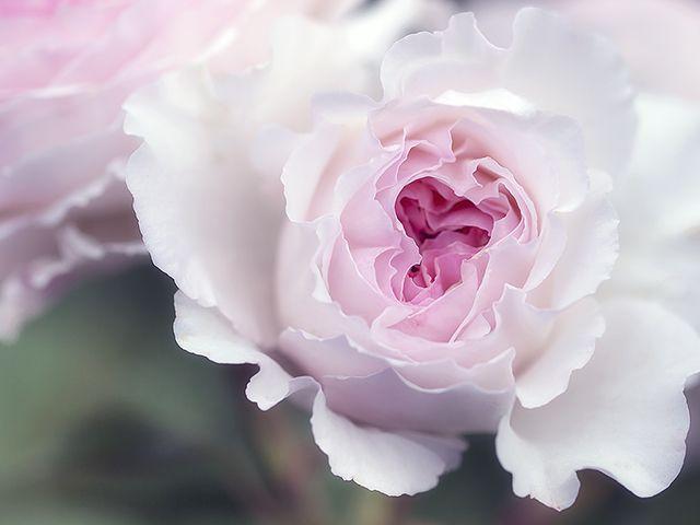 Rosenbild Höhenflüge mit englischer Rose James Galway. Leinwandbild oder Kunstdruck.