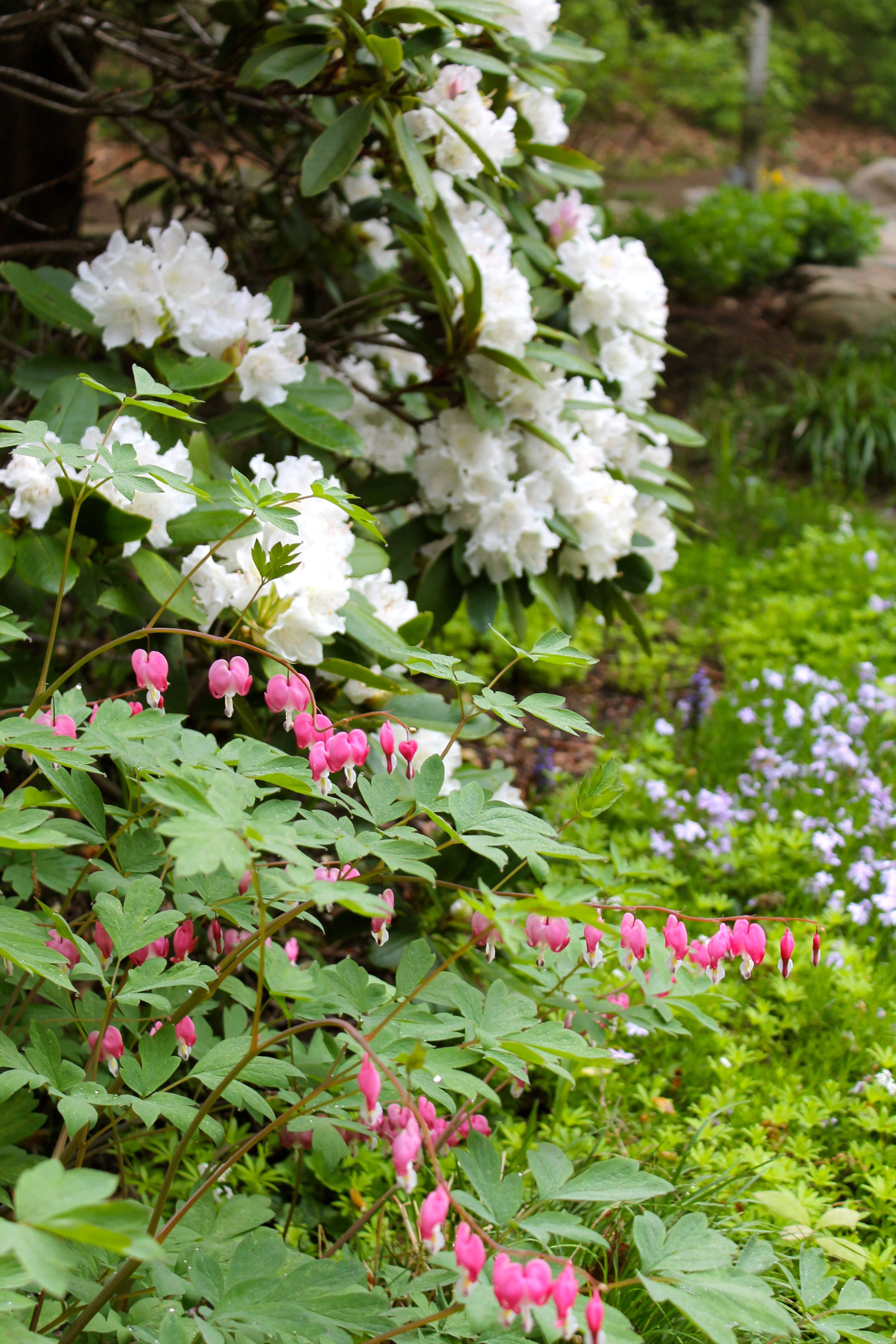 Rhododendron And Bleeding Heart Both Shade Lovers Similar Bloom Times Garten Blumen