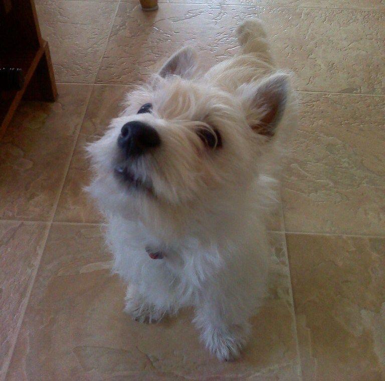 Mr. McGruff, my West Highland Terrier puppy :)