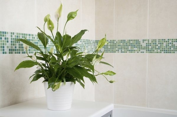 Plants For Bathrooms Peace Lily House Plants For The Bathroom Small Bathroom Decor Ideas Shower Plant Plants Air Cleaning Plants