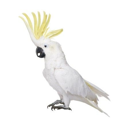 White Parrot Picture 2 Free Photos For Free Download Parrot Image Cockatoo Pet Birds
