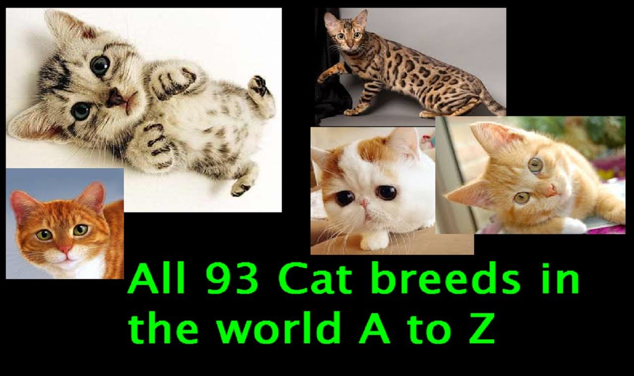 All 93 Cat Breeds In The World A To Z Cat Breeds Breeds