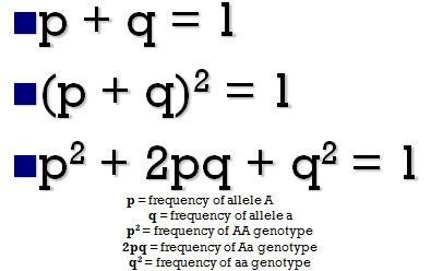 Image result for hardy weinberg equilibrium | Genetics & Genomics ...
