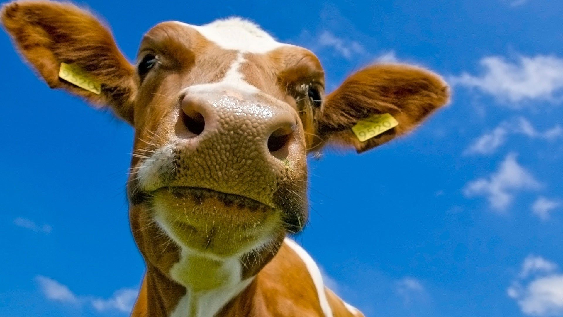 Best Desktop Wallpaper To Download Hd Cow 1920x1080 1 Cute Cows Cow Wallpaper Cows Funny