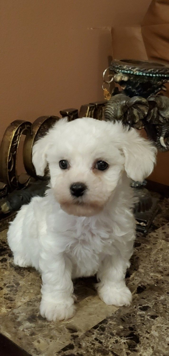Bichon Frise Puppies For Sale   Riverside, CA #324630 in ...