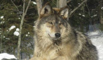 Grey Wolf Facts Size Diet Habitat Information In 2020 Grey Wolf Wolf Animals