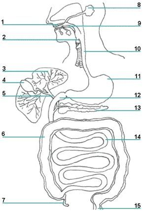 print ready worksheet picture of the organs and accessory structures of the digestive system. Black Bedroom Furniture Sets. Home Design Ideas