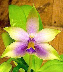 "Phalaenopsis violacea ""Blue"""