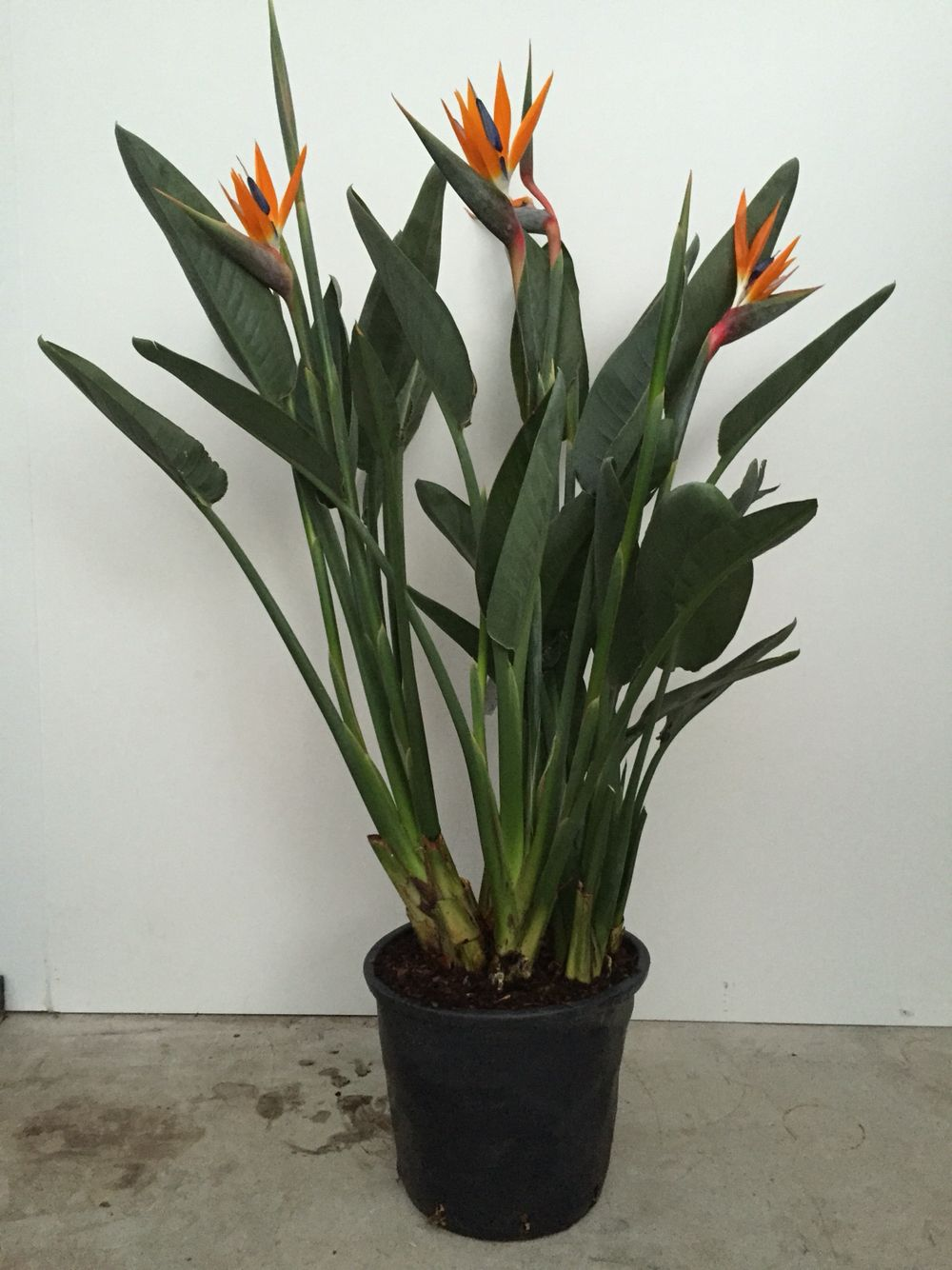 Strelitzia 35 cm pot. Flowering season started!