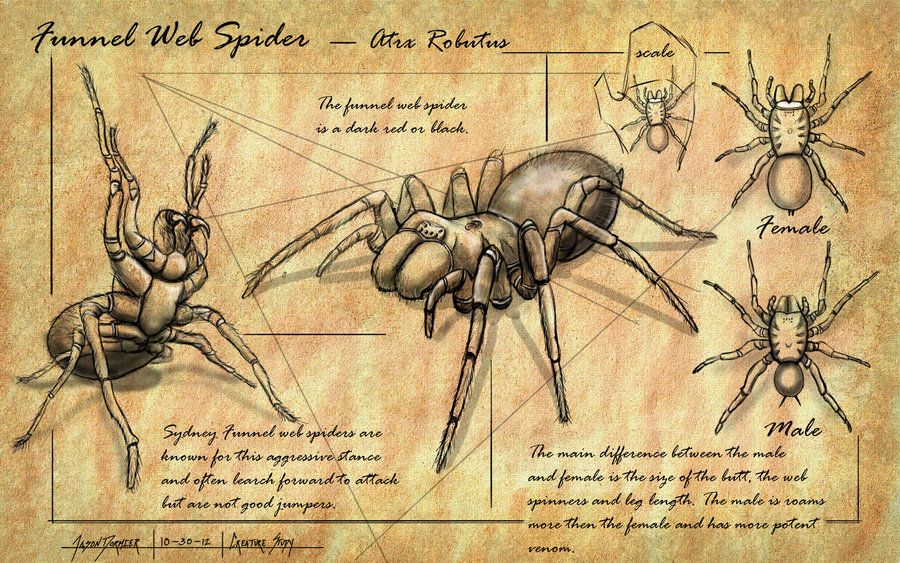 Sydney Funnel-Web Spider | Sydney Funnel Web Spider Study by ...