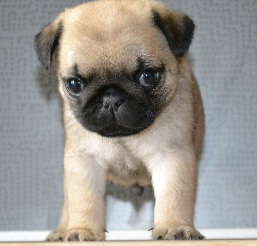 I Want Another Mr Wiggles Puglife Cute Pugs Pugs Baby Pugs