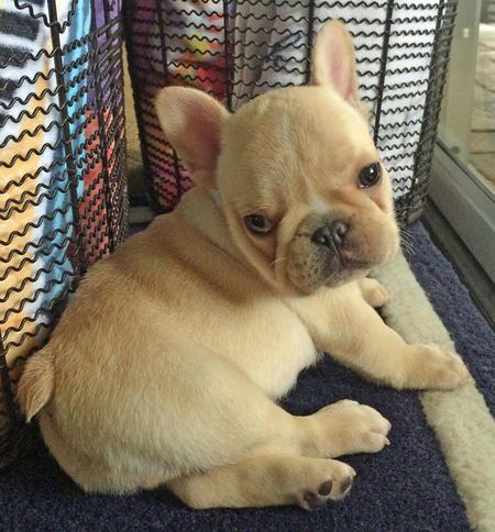 Ernie The French Bulldog Cute Puppy Names Cute Baby Animals Bulldog
