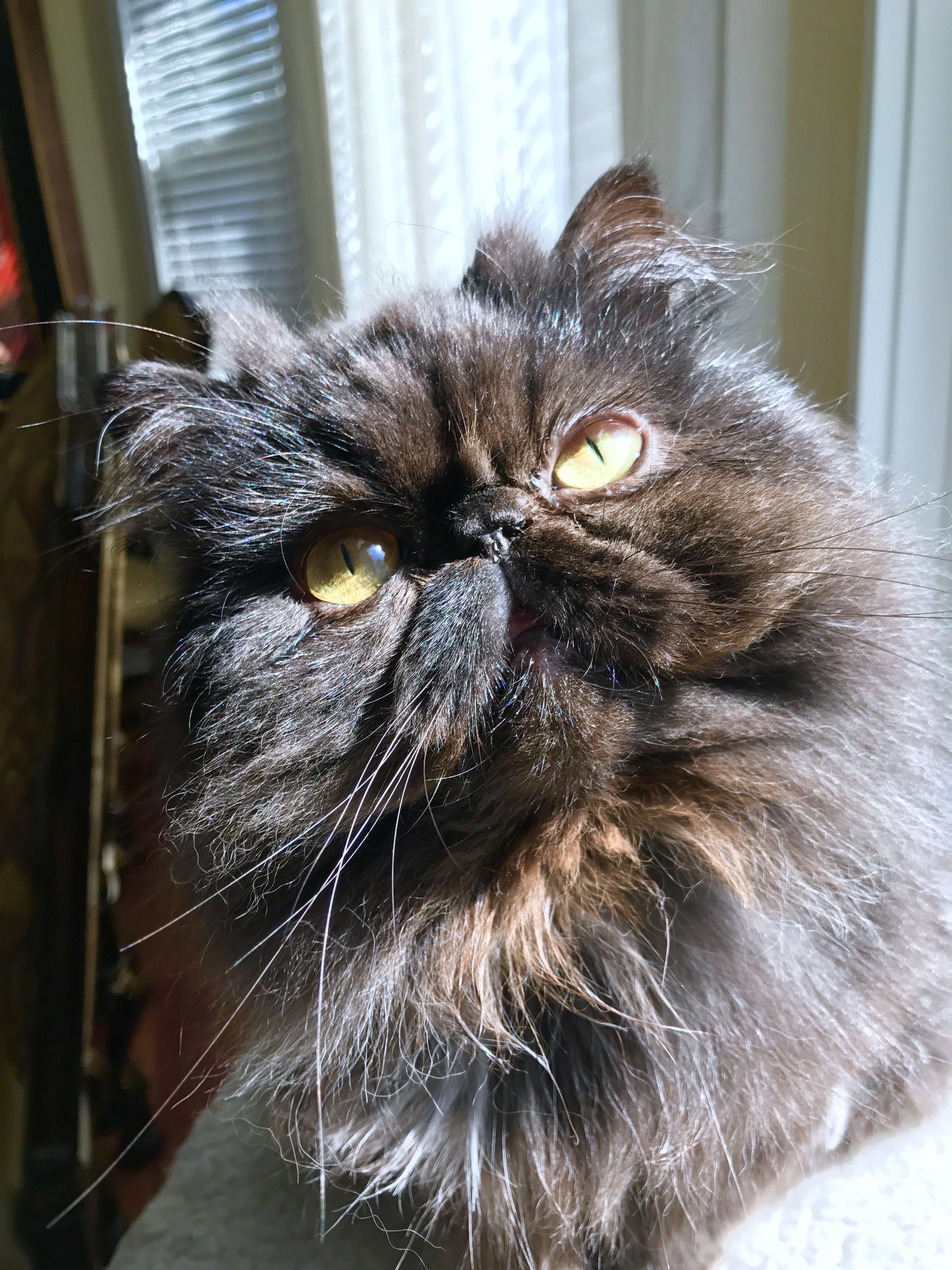 Black Persian Teacup persian cats, Persian kittens