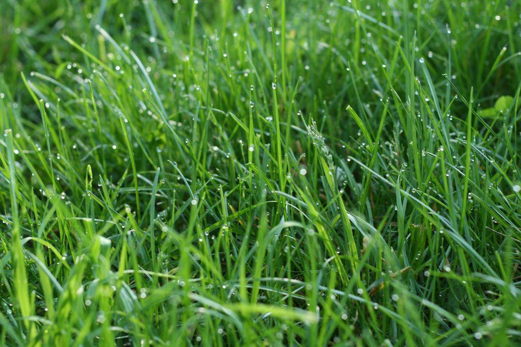 The Best Grass To Establish A Lawn In Richmond Va Best Grass