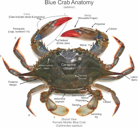 Female Atlantic Blue Crab Anatomy Callinectes Sapidus Fish Id