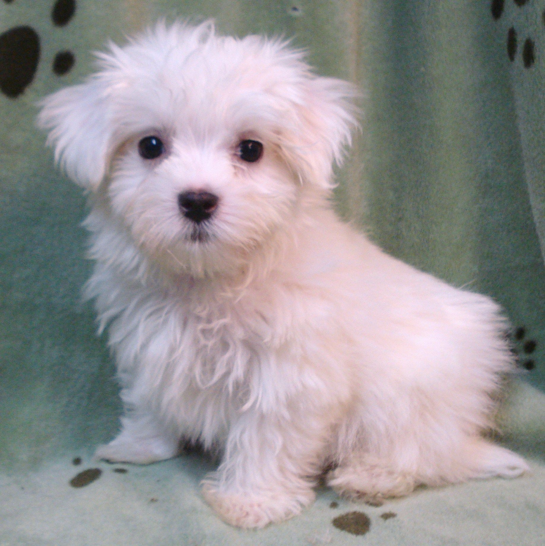 Teacup Puppies For Sale In Brooklyn New York Teacup Puppies