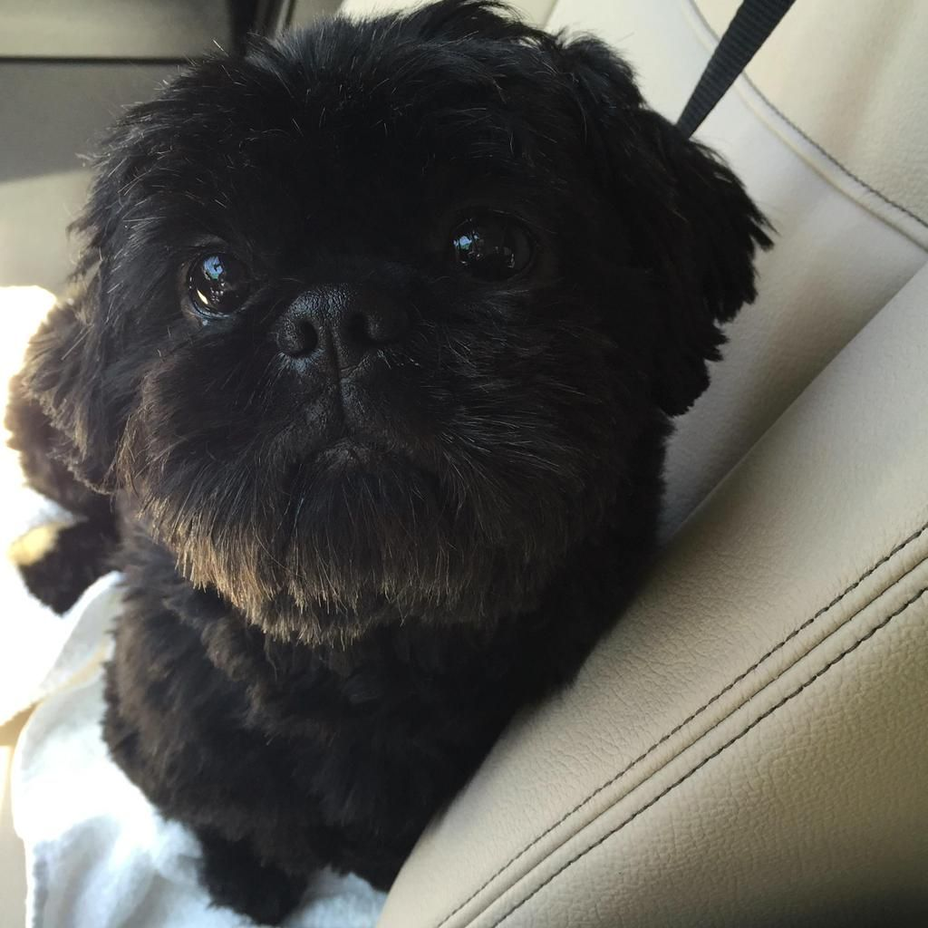 GayWeHo Dogs 4 U 🐶 on Dogs, Shih tzu lover, Animals