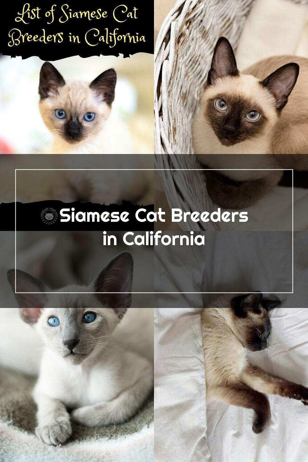 Looking For Siamese Cat Breeders In California Here S A List Of Breeders With Siamese Cats And Kittens For Sale In 2020 Siamese Cat Breeders Cat Breeder Siamese Cats