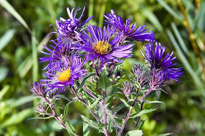 Herbcraft New England Aster Jim Mcdonald Herbalism Natural Healing