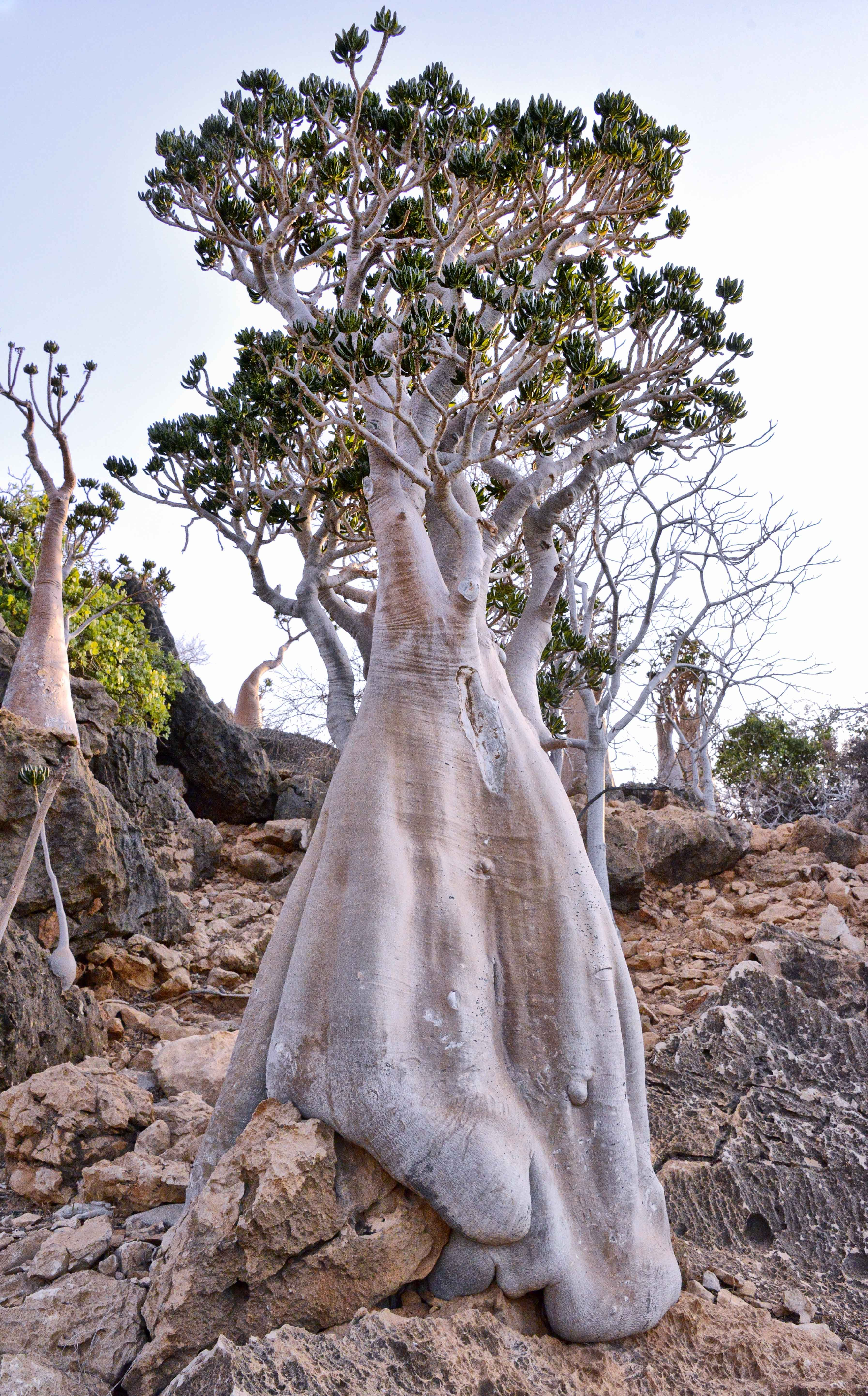lost world of socotra yemens magical isle