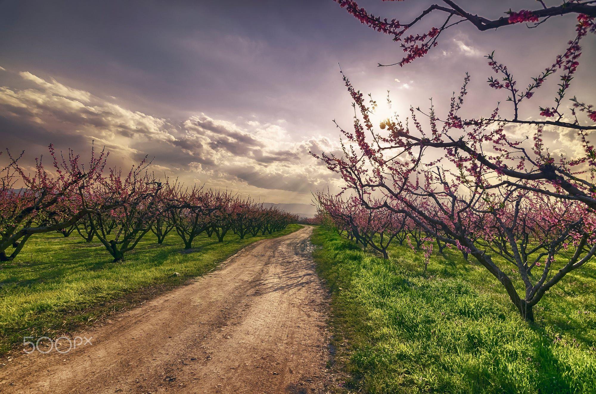 Peach Trees!