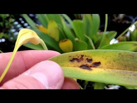 Orchid Care Yellow Leaves And Other Ailments Part 4 Bacterial Problems And Cold Damage Orchid Care Orchid Leaves Orchids