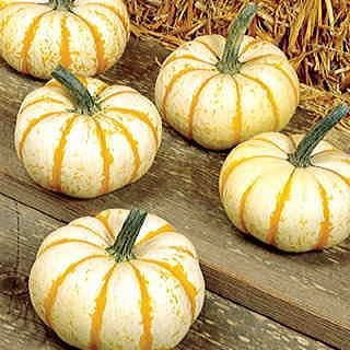 Merry orange-striped 1- to 2-pound pumpkins with a round, slightly flattish, ribbed shape harvest early on vigorous vines.