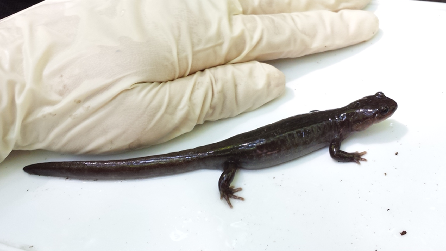 エゾサンショウウオ 体長14 18cm 両生類 イモリ ペット