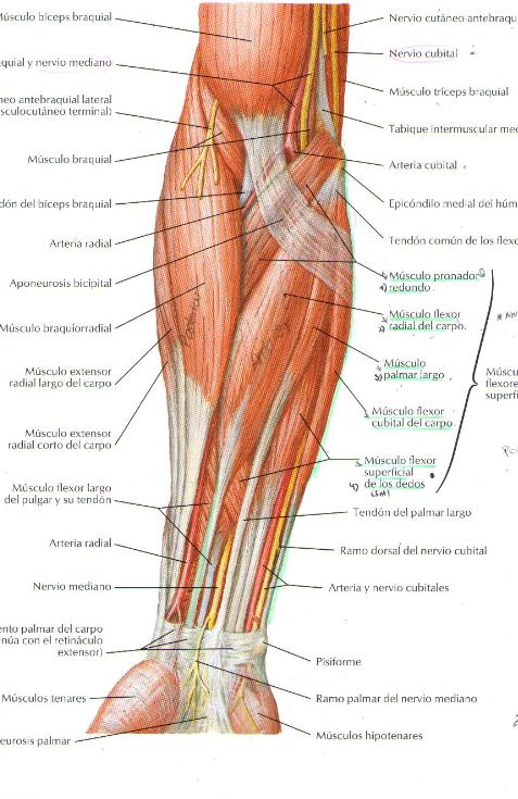 Único Músculo Del Brazo Anatomía Fotos - Anatomía de Las Imágenesdel ...