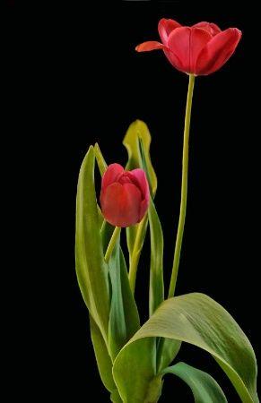 Miss Tulip